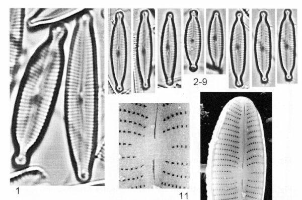 Encyonopsis alpina orig illus 3