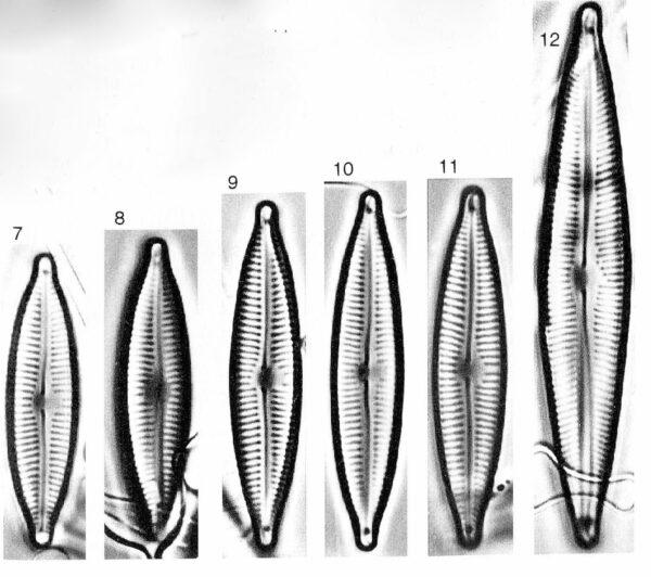Encyonopsis cesatiformis orig illus