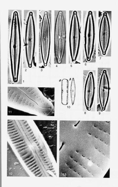 Encyonopsis Cesatii Origimag001