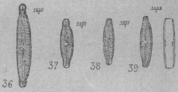 Encyonopsis Microcephala  Ill