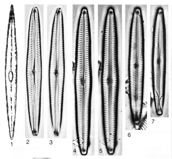 Encyonopsis Neoamphioxys Origimag002