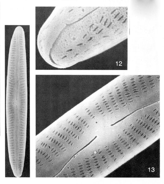 Encyonopsis Neoamphioxys Origimag003