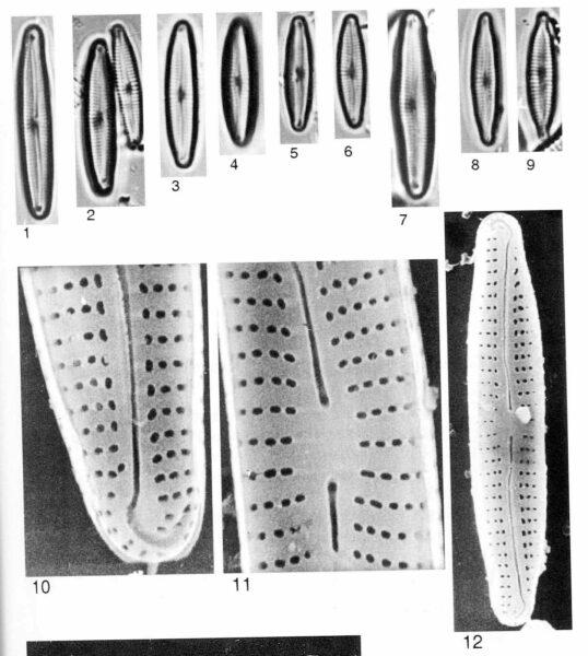 Encyonopsis Perborealis Origimag025