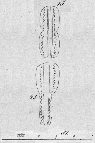 Entomoneis ornata orig illus