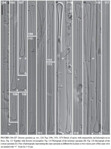 Eunotia spathulata orig illus