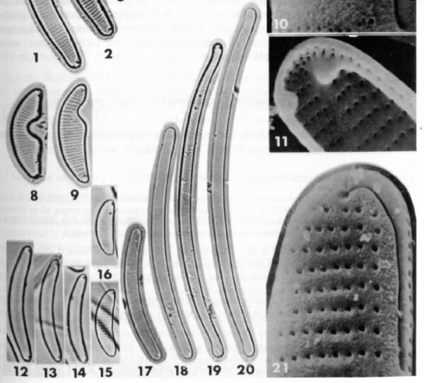 Eunotia bilunaris var. mucophila orig illus 2