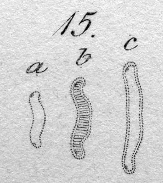 Eunotia exigua orig illus