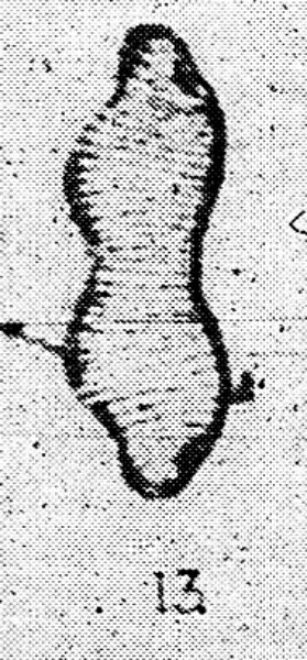 Tryblionella brunoi LM1