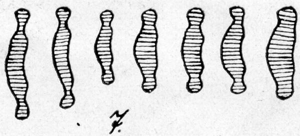 Eunotia Microcephala  Orig Ill