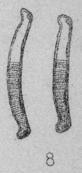 Eunotia  nymanniana orig illus