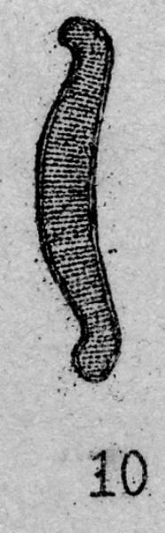 Eunotia nymanniana orig illus 2
