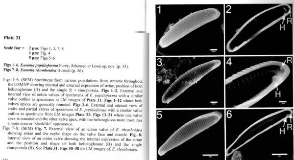 Eunotia papilioforma orig illus