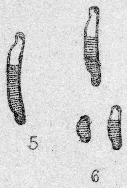 Eunotia tenella orig illus