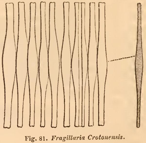 Fragilaria cotonensis orig illus