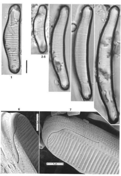Eunotia metamonodon orig illus 2