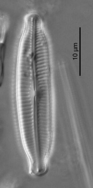 Cymbella fluminea HOLOTYPE