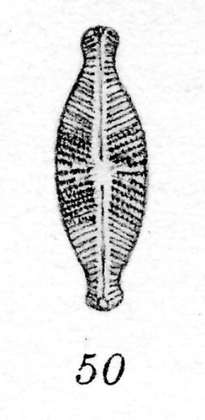 Gedecussis  Orig Illus