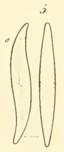 Gomphonema acuminatum orig illus