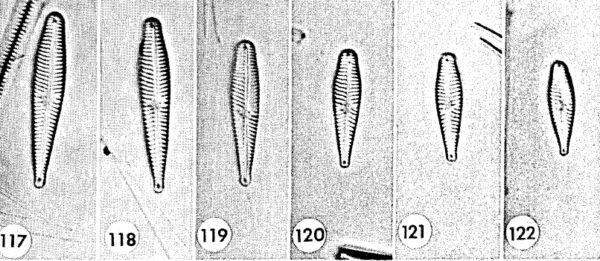 Gomphonema geitleri orig illus