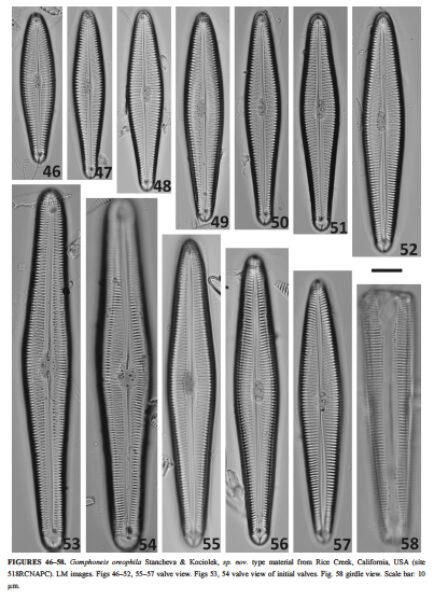 Gomphoneis oreophila orig illus