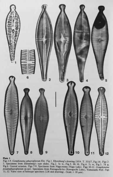Gomphonema pseudosphaerophorum orig illus