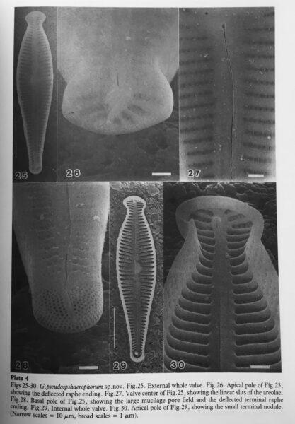 G Pseudosphaerophorum Origfig2