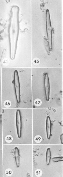 G Pygmaeum Origillus