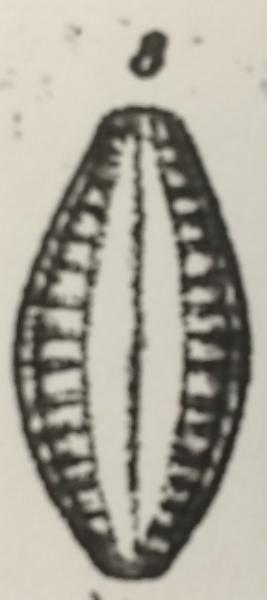 Gibberula 2
