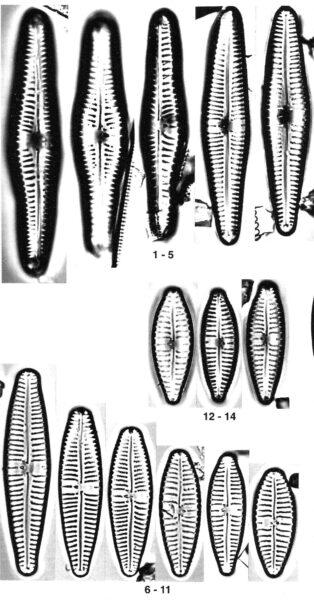 Gomphonema Americobtusatum Origimag001