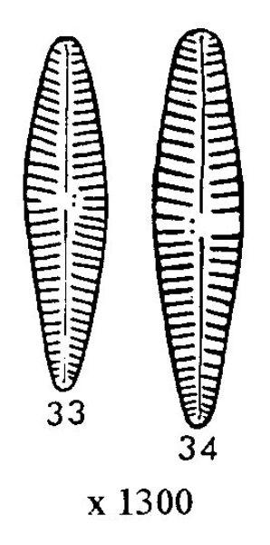 Gomphonema Duplipunctatum Origimag001