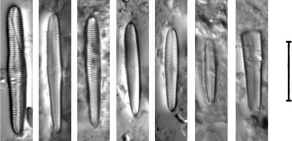 Gomphosphenia Stoermeri orig illus