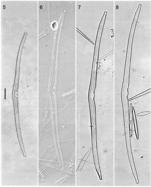 Hasuperiorensis  Orimage