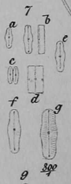 Humidophila Perpusilla Orig Illus