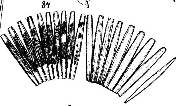 Jkjctenophora Pulchella Original