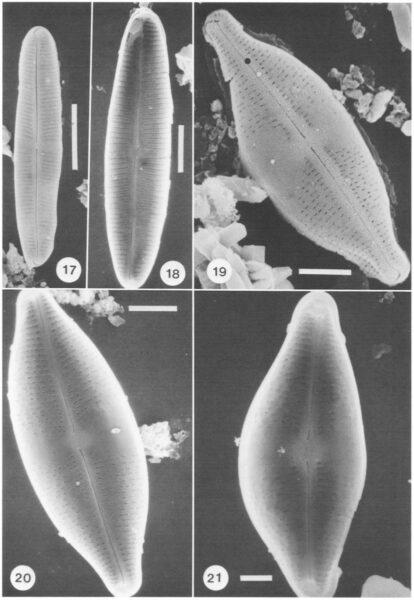Kociolek Herbst 1992 Diatoms At 2