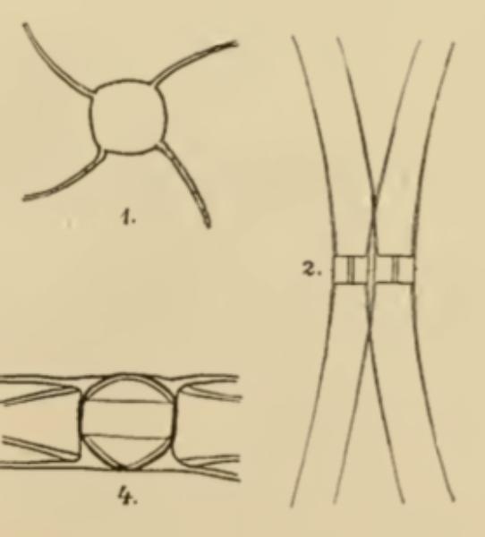 Lemmerman 1898  Chaet Muelleri Fig