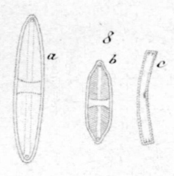 Lemnicola Illustr