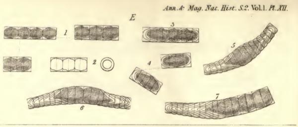 Melo Dickiei  Thwaites 1848 Image