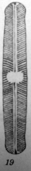 Nafusticulus Original Image