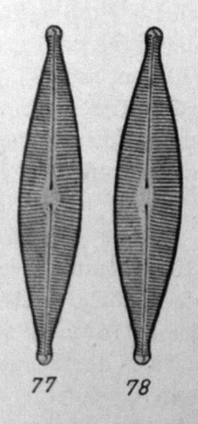 Nariparia Original Image