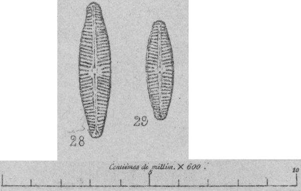 Naslesvicensis  Orig Ill