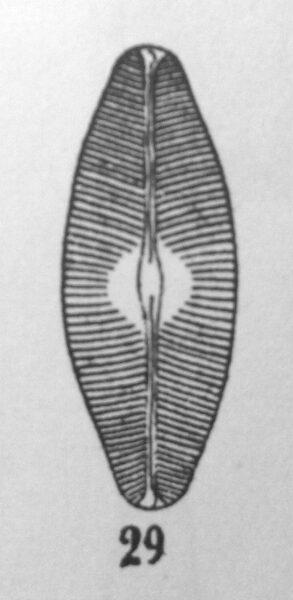 N Bacilloides Orig Illus