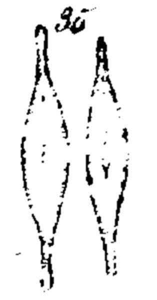 N Rhynchocephala  Kutzing 1844