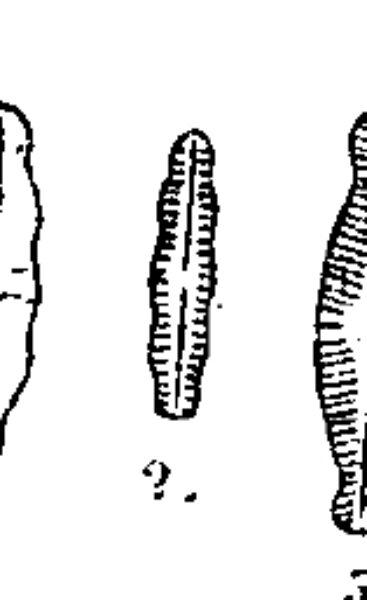 N Sohrensis Image