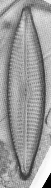 Navcryptocephaloides  Hustedt1