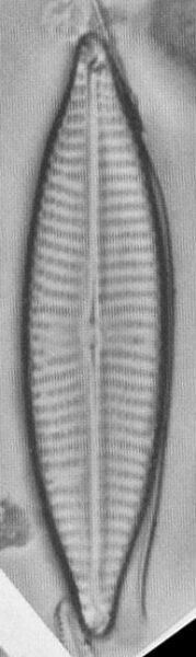 Navcryptocephaloides  Hustedt2
