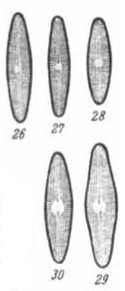 Navicula Digitulus Orig Illus