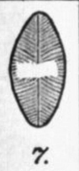 Navicula Lapidosa Orig Illus