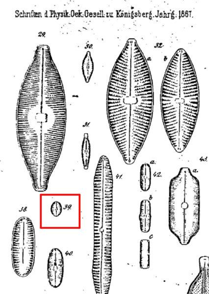 Navicula Puella Orig Illus