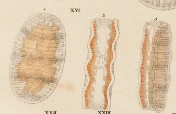 Navicula Undulata Ehrenb Orig Illus 2